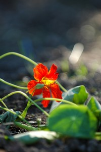 nasturtiums for companion planting