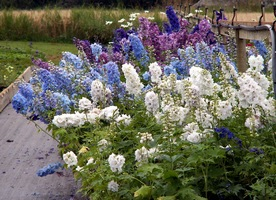 Cottage Garden Plants 7 Delphiniums