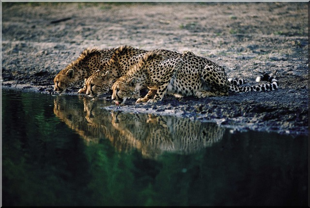 drinking cheetahs at a South African waterhole