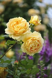 Beautiful Golden Celebration rose