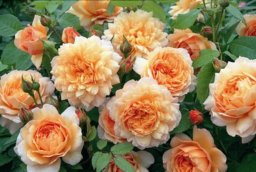 Grace, a lovely apricot rose bloom