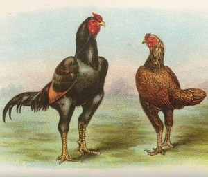 Indian Game Fowl