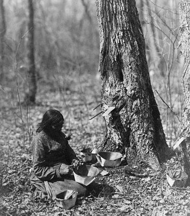 An Ojibwa Indian woman tapping a maple tree