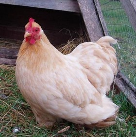 a Pekin Bantam hen in an ark chicken coop