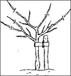 Image showing where to pruning a fruit tree in year 3