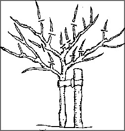 Image showing where to pruning a fruit tree in year 4