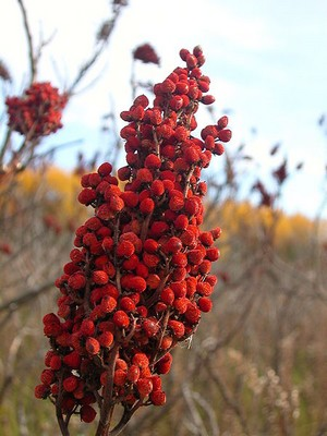 the red berries of sumac or buck brush