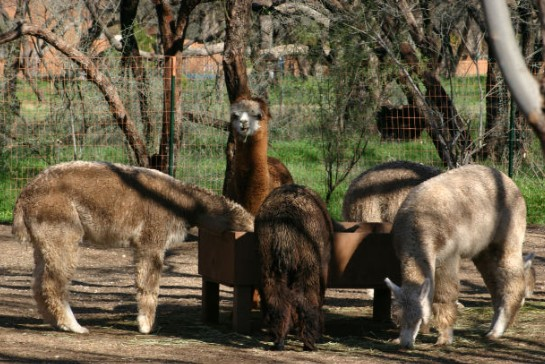 5 alpacas eating food out of a trough under a tree