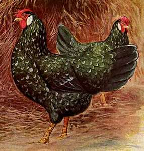 Best Chicken Breeds For Eggs Meat And Dual Purpose