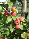 Dwarf fruit trees thumbnail