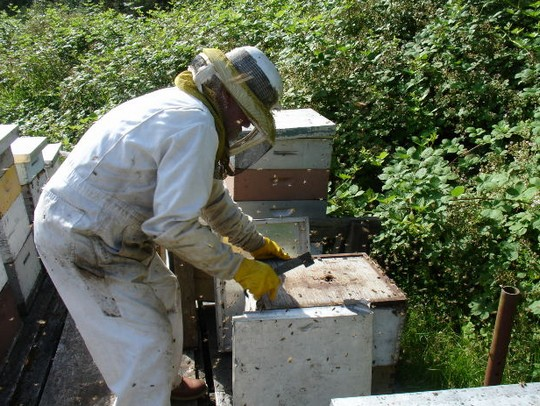 a bee keeper using a hive tool to open the bee hives