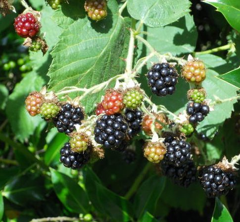 blackberries10