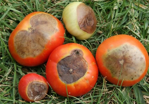 Growing tomatoes from seeds plants in containers upside down and