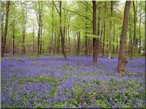 a carpet of bluebells under trees
