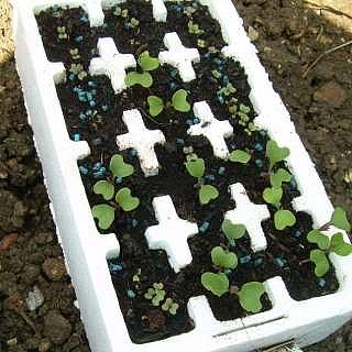 Broccoli seedlings growing for later transplanting