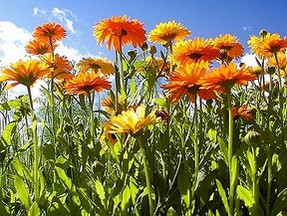 a field of calendula