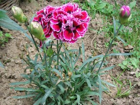 a carnation plant with 2 pink flowers and 3 buds