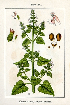 a botanical print showing nepeta cataria or catnip