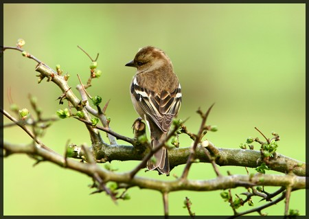 a female chaffinch sitting on a branch