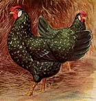 chicken breeds thumbnail