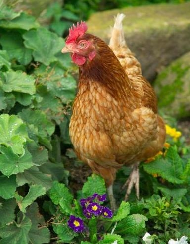 An organic raised chicken in some flowers.