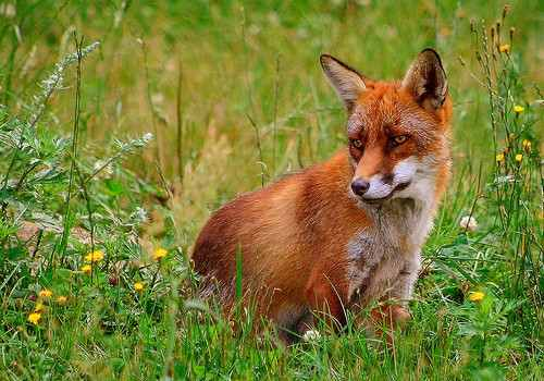 A red fox sitting in a field.