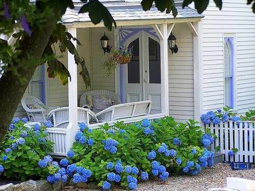 Superieur A Cottage Garden Of Hydrangeas Around An Old Country Home ...