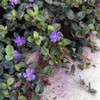 creeping periwinkle