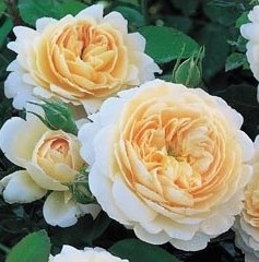 Crocus a pale apricot David Austin rose