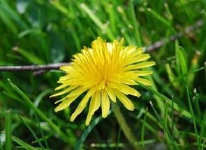 a close up of a single dandelion flower