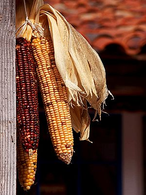 Corn cobs hanging up to dry
