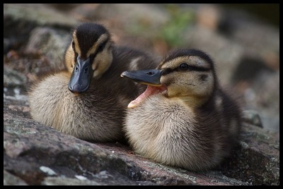 Raising Ducks for Meat, Eggs or Both with Information on