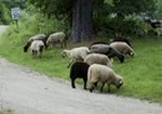 Farm animals - sheep grazing on grass beside a country road.