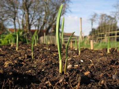 Emerging garlic plants from the soil.