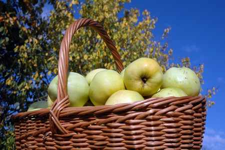 Harvesting apples in a wicker basket