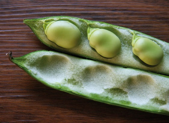 3 broad beans in a pod