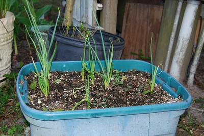 Growing garlic in plastic containers