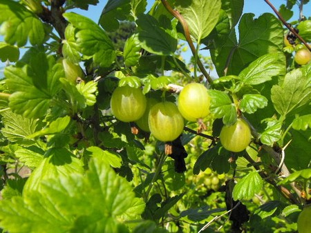 Growing gooseberries in the sun