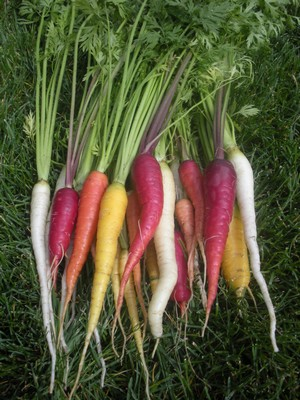 a harvest of heirloom carrots recently grown
