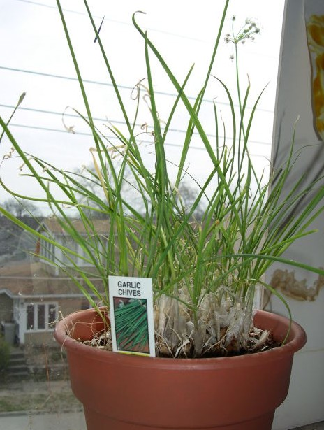 a terracotta pot of chives growing indoors on a window sill