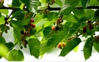 Growing mulberries thumbnail