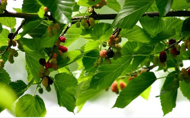 Mulberry Tree Hd Images