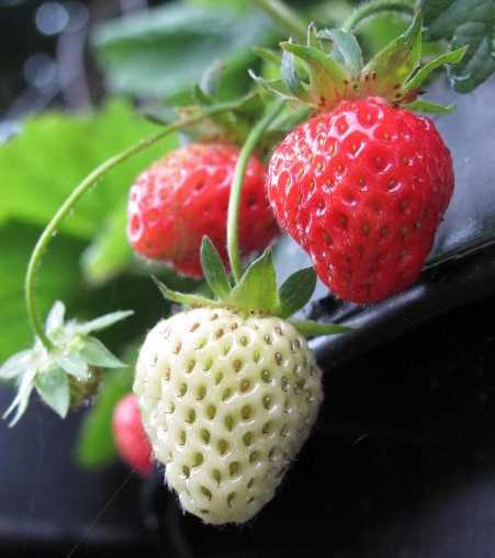 growing organic strawberries