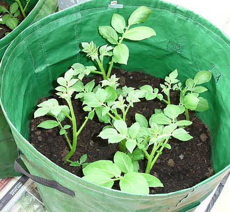 Growing potatoes in containers using bags.
