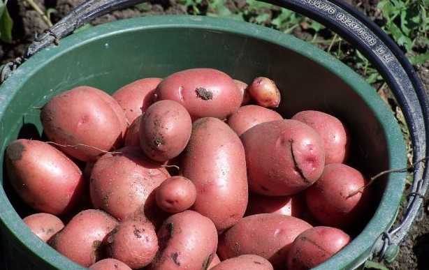 growing potatoes