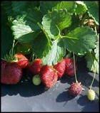 growing organic strawberries thumbnail