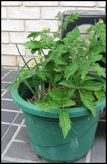Growing Tomatoes from Seeds Plants in Containers Upside Down
