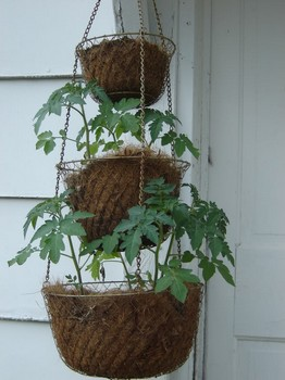 an example of growing tomatoes in hanging baskets