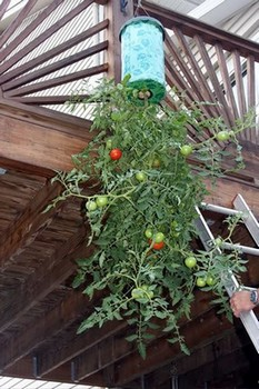 A tomato growing upside down from a balcony