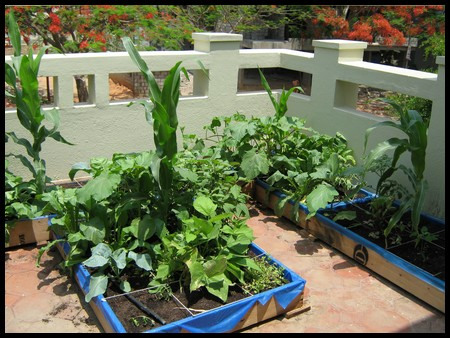 Growing vegetables under the guidance of Dr. Vishwanath